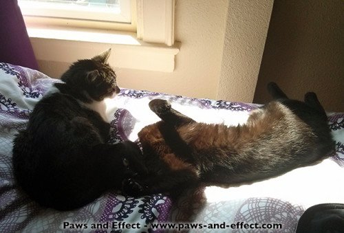 """Why Is My Black Cat """"Rusting?"""""""