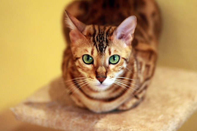 Mo wants to know if a Bengal kitten is a good fit for his family. We'll give our advice and some tips on what to look for in a breeder.