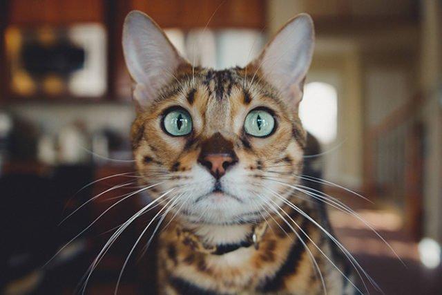 Cat Demands Food Constantly