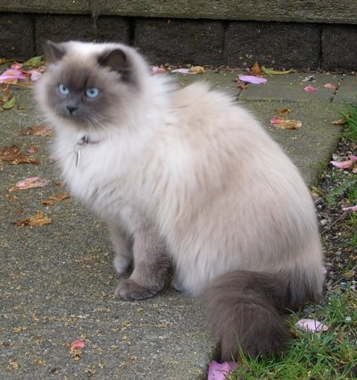 How Can I Ease My Himalayan Cat S Arthritis Cat Advice