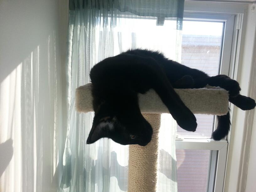 Bella lounges on the top shelf of the cat tree.