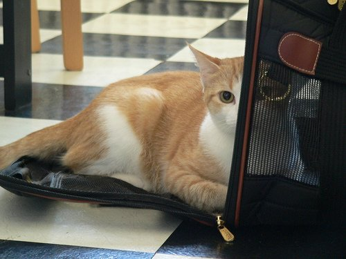 Orange and white cat moving toward his carrier