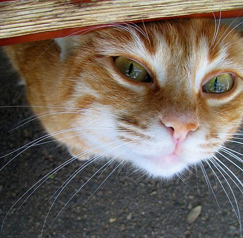Orange tabby cat peeking out from under a bench