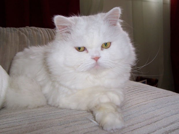 Should I Put My Persian Puss On a Diet?