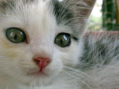 My Cat Has Pulmonic Stenosis. Will She Be OK?