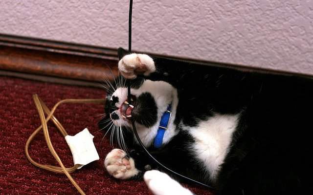 cat chewing on electric cord