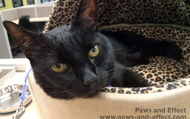 A black cat rests in a heated leopard-print bed