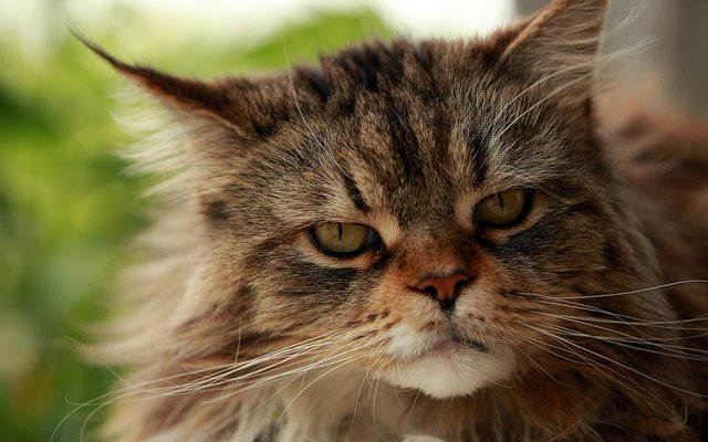 A brown tabby Maine Coon cat with a sad expression on his face.
