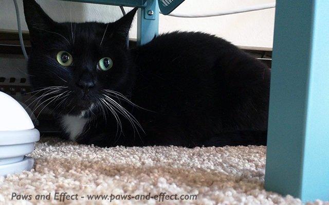 Tara, a tuxedo cat, hides under a TV stand.