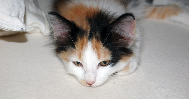 what color was my calico kitten s father cat advice paws and effect