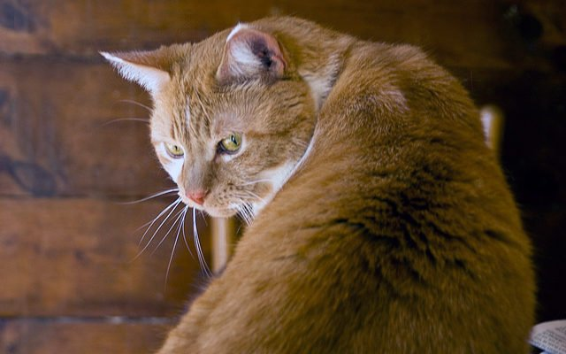 An orange cat with his back to the camera, looking around at the photographer. Photo CC-BY Liz West
