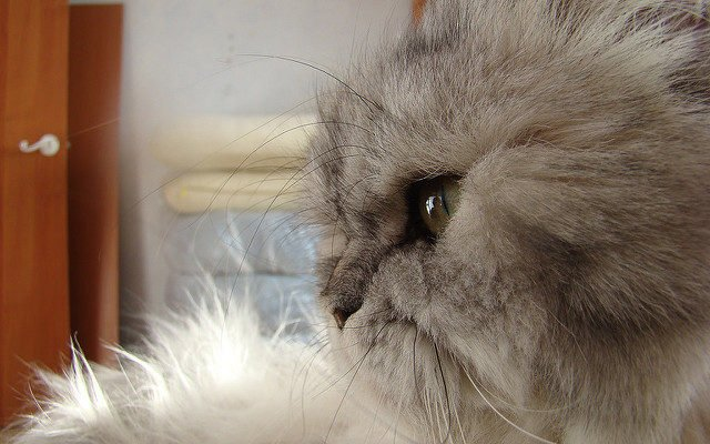 A gray Persian cat in profile