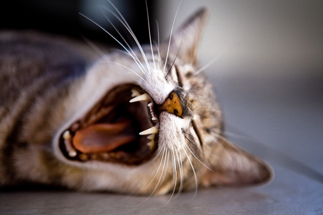 What Can I Do About My Elderly Cat's Dental Disease?
