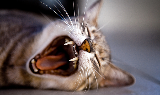 Dental disease in elderly cats is tricky, because it's hard to decide whether or not to put them under anesthesia for surgery. Get some answers on what to do in this post.