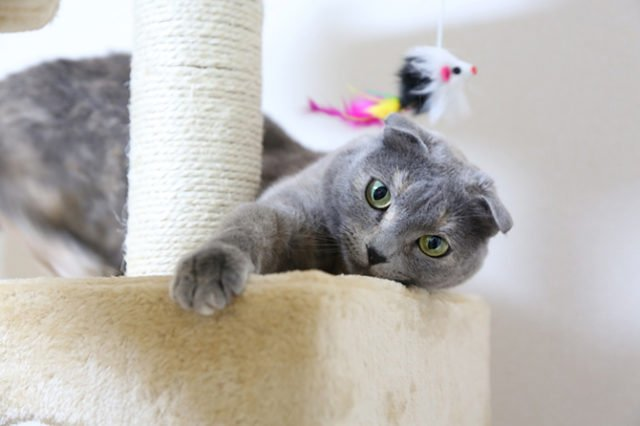 Scottish Fold Health Issues: What's the Real Scoop?