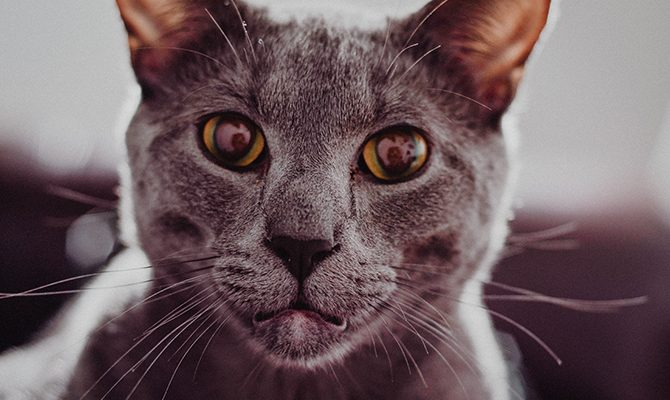 """Layla's cat started exhibiting symptoms of feline hyperesthesia syndrome shortly after he got his vaccinations. Did the vaccinations cause the problem, and if so, is there a """"vaccine detox"""" available for cats?"""