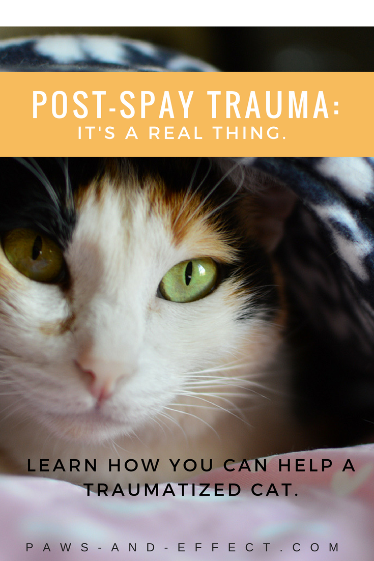Most cats do pretty well when they're spayed or neutered, but a few develop a kitty version of PTSD. It's largely because of the experience of having surgery and the resulting pain, and possibly from the sights, sounds and smells of the clinic. That trauma can make cats reluctant to be touched. The Paws and Effect Gang has some tips on how to help your cat recover from post-spay trauma in this post.