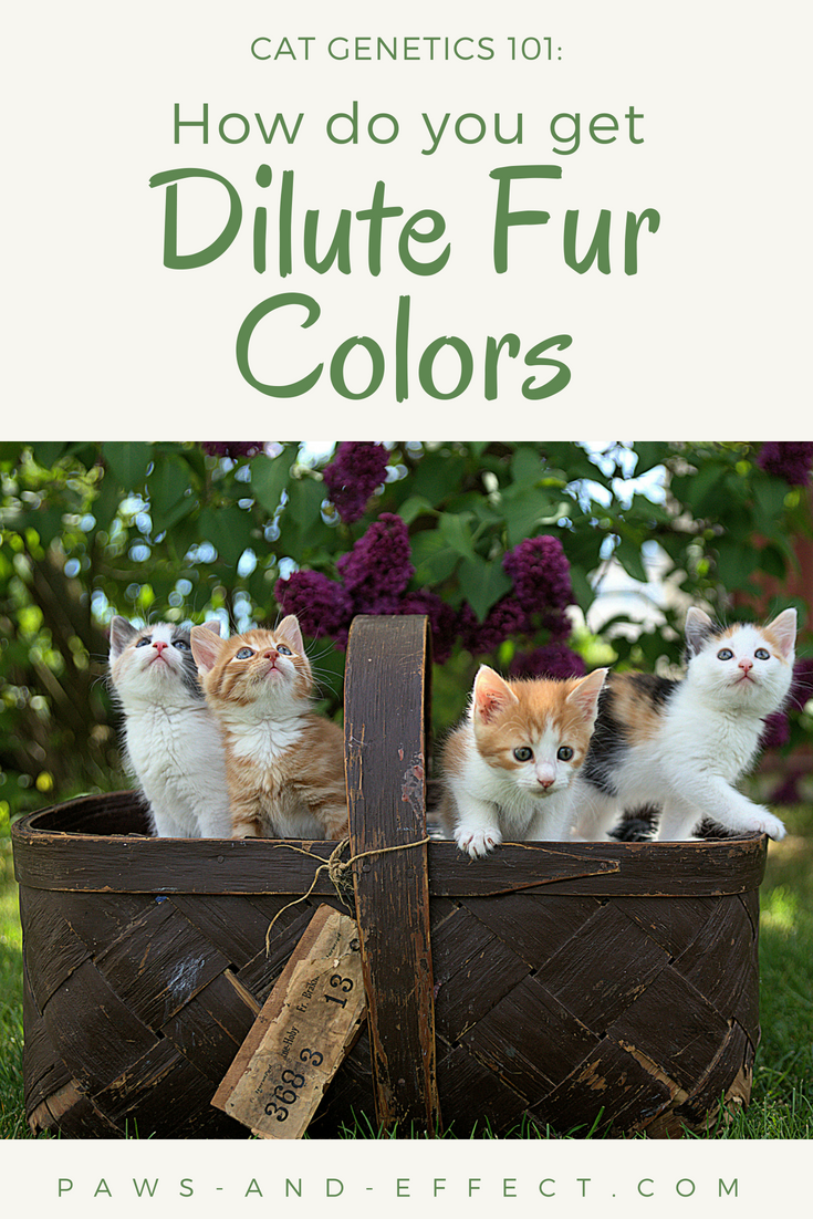 Why do some cats come out with full, rich colors like black or orange, and others come out with dilute fur colors like gray or cream? The answer lies in alleles--mutations of various genes--and how they are passed from the parents to their kittens. Want to know how those lovely dilute colors happen? This post has got the answers for ya!