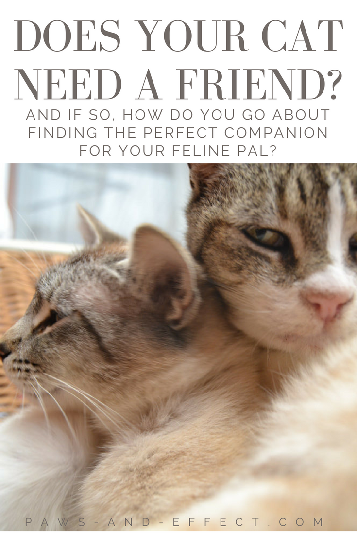 Cats can really benefit from having a feline friend. This is especially true if you have a kitten that was separated from his mother too soon and hasn't been socialized quite right as a result. Cats can learn a lot of things--like the rules of the house and how to act like a cat--from feline mentors. What should you take into consideration if you want to bring another cat into your home? Get our answers in this week's post.