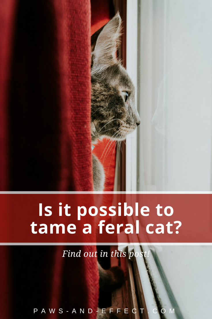 Is it possible to tame a feral cat? Maybe. Learn how to tell a truly feral cat from a scared stray, and get some tips on how you can build confidence in a scaredy cat.