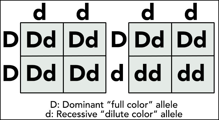 A Punnett square showing the inheritance of full color versus dilute color inheritance in cats.