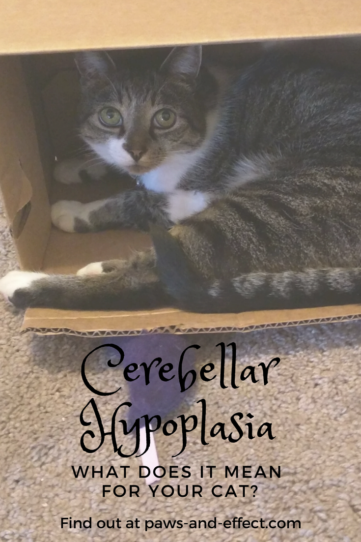 Cerebellar hypoplasia is a condition in which the part of the brain that controls fine motor skills and coordination is shrunken because of prenatal exposure to viruses or trauma. The condition runs on a continuum from mild to quite severe. Learn about the condition and how to handle introducing a CH cat to your family in this post!