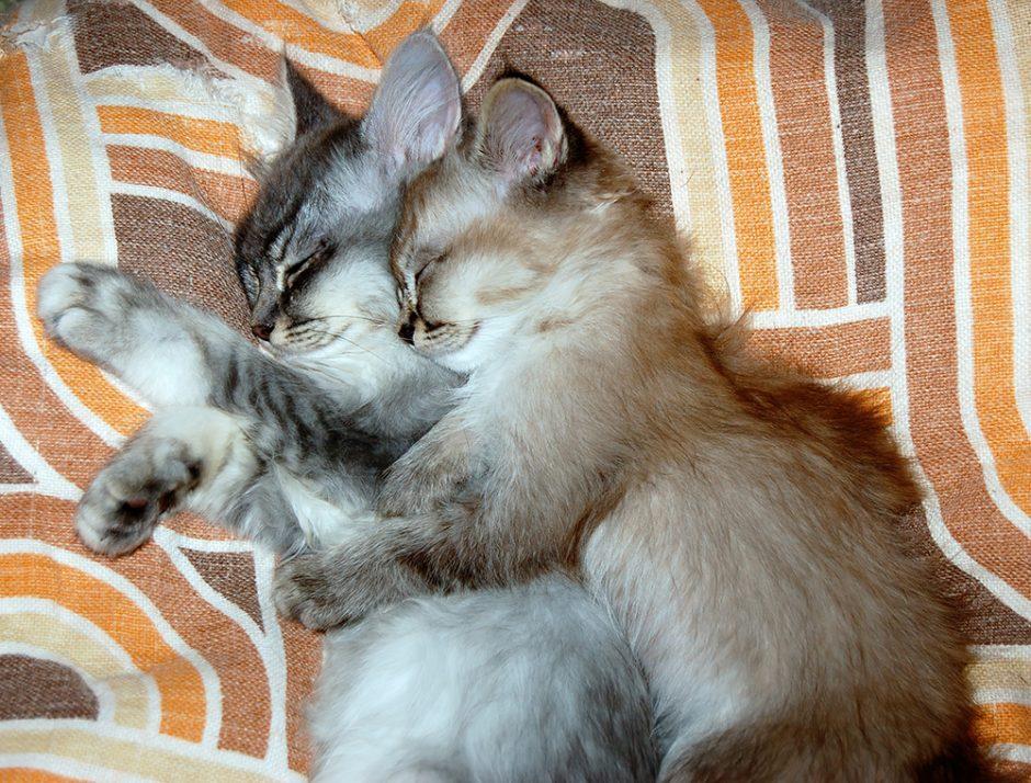 Jen is adopting her first kitten soon. But she wonders: Can one kitten alone be happy? Get our answers in this post.